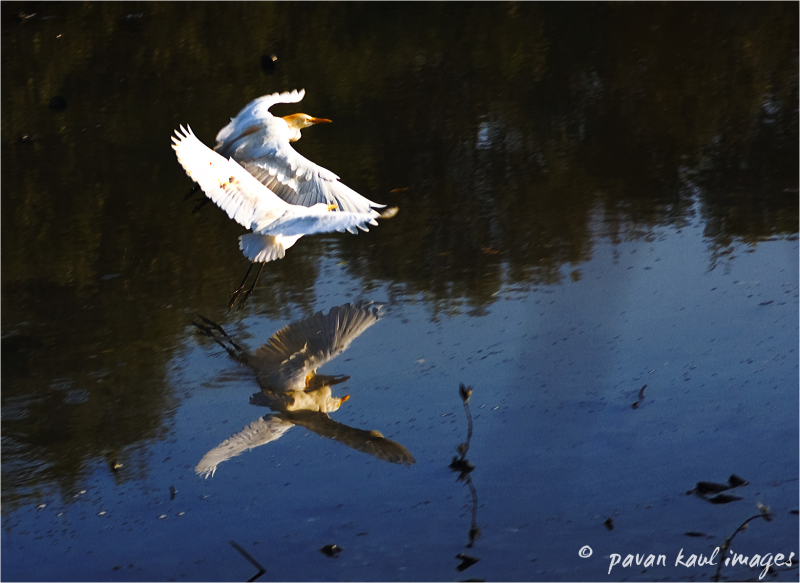 egrets taking off