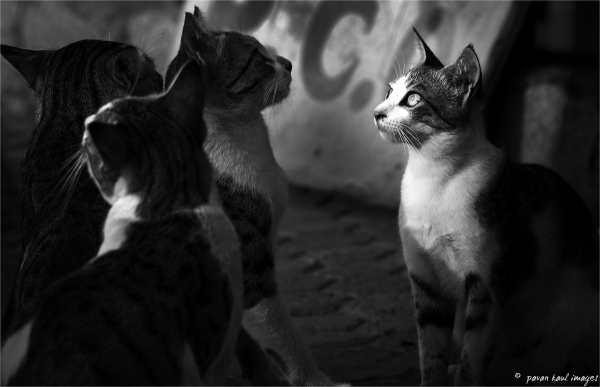 cats in face off
