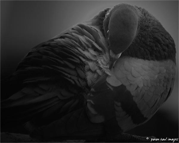 Blue Rock Pigeon