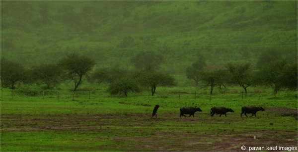 man tending buffaloes in fields