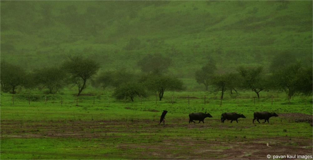 man tending buffalows in fields