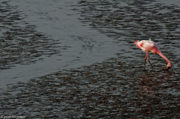 flamingo feeding in mangrove