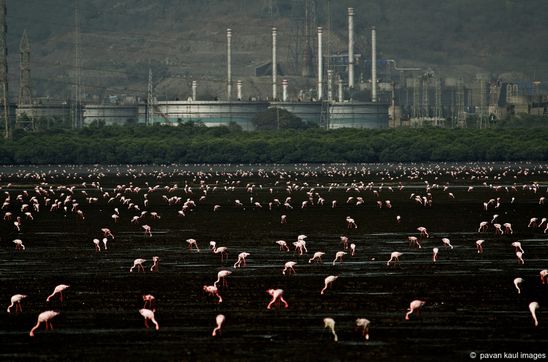flamingos feeding in mangrove polluted by factory