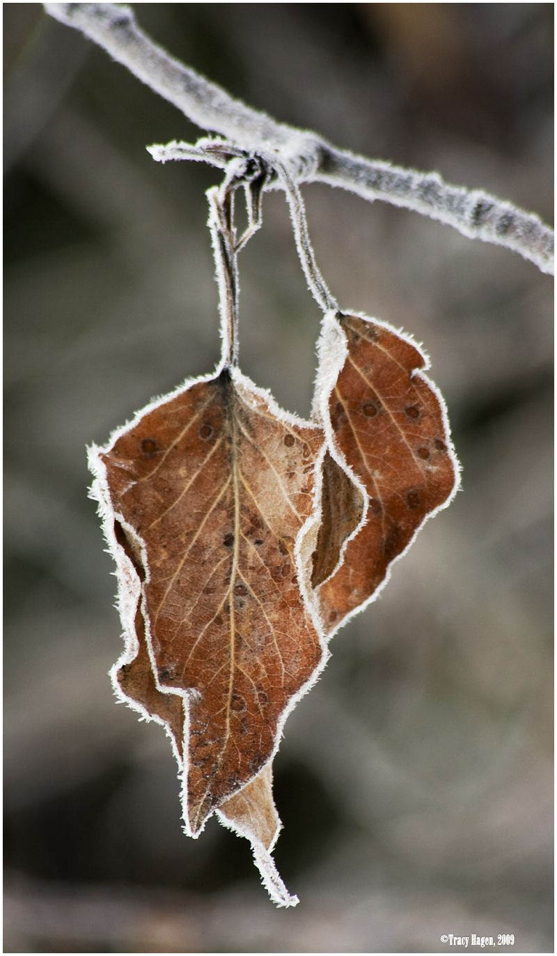 Frozen leaves, Yosemite NP