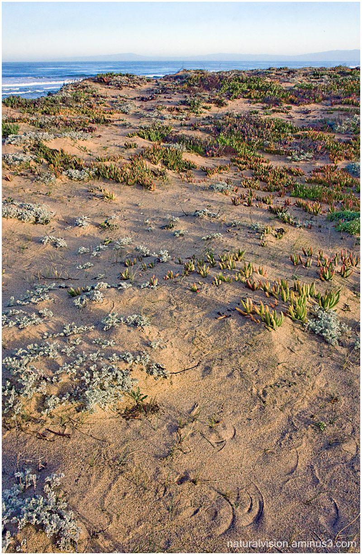 ice plant on dunes