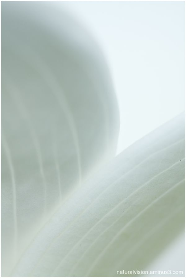 white calla close-up