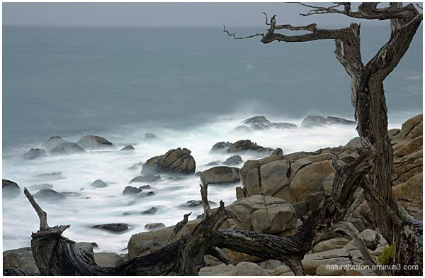 Pebble Beach Tree