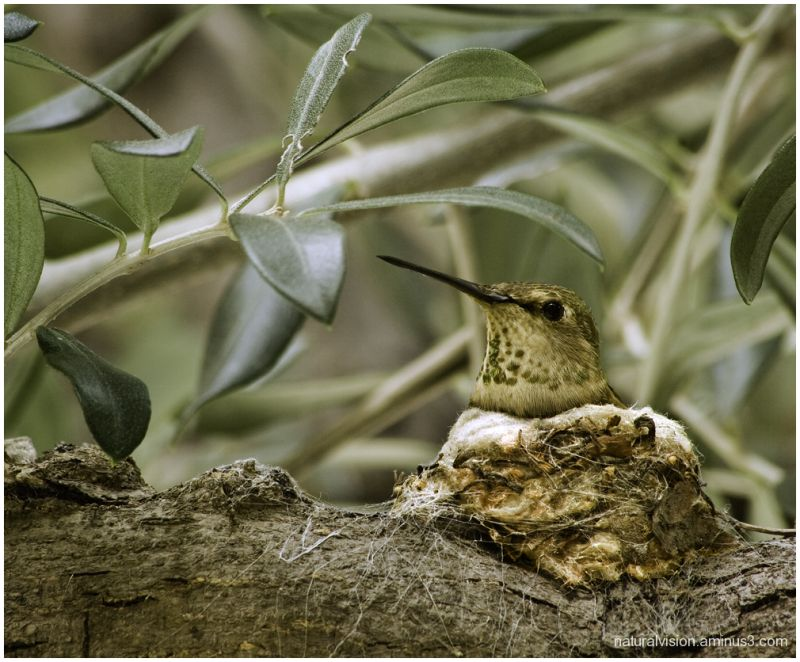 Humingbird on nest