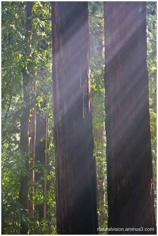 Sunbeams in Big Basin State Park