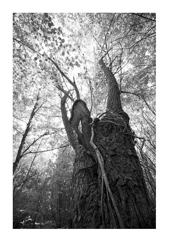 photo arbre étrange forêt de marchiennes Massart