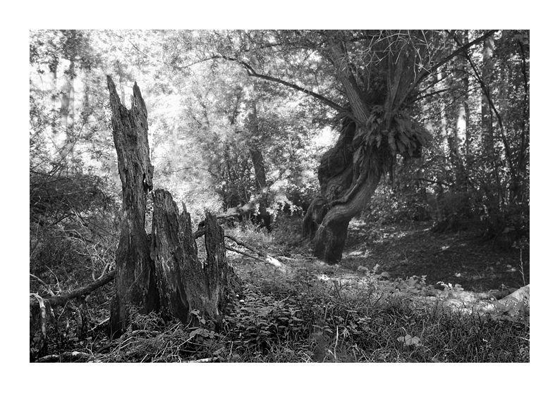 vieux arbres forêt Marchiennes