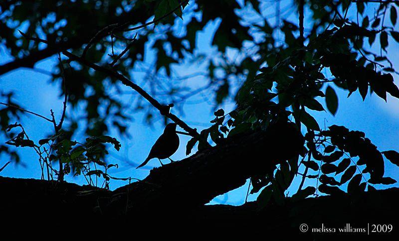 Twilight Robin