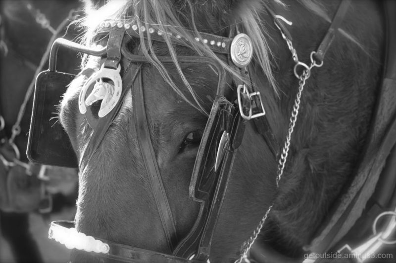 Tired Draft Horse in B/W