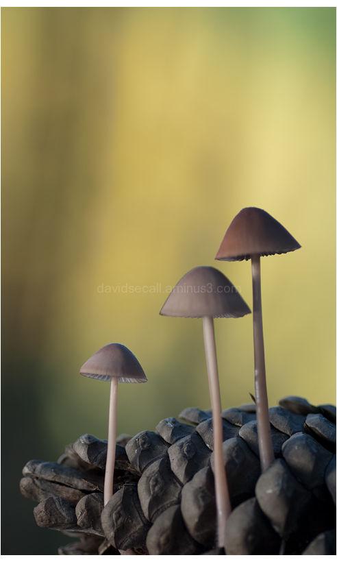 Bolet mushroom David Secall