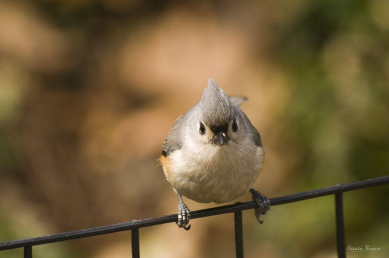 birds animals tufted-titmouse