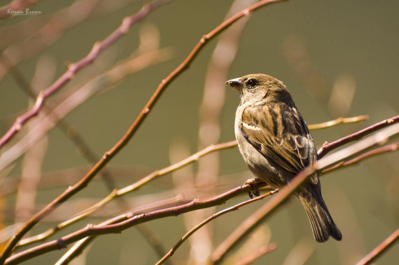 A sparrow at Central Park
