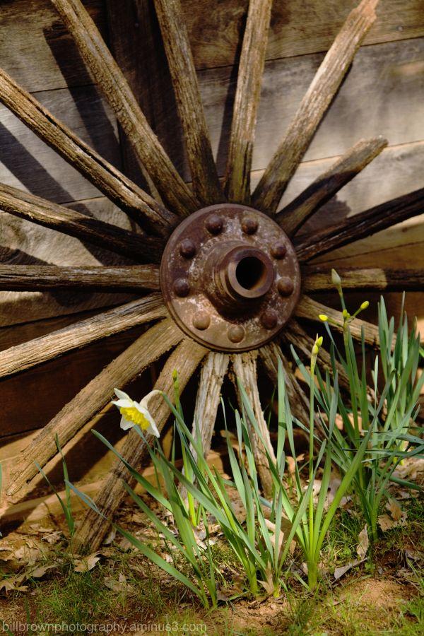 Daffodils with Old Wagon Wheel