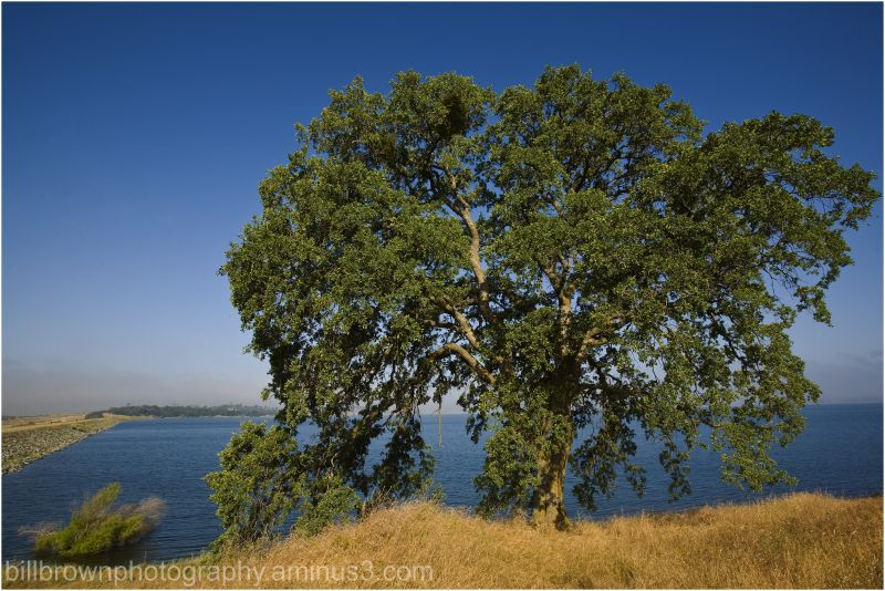 Oak by the Lake