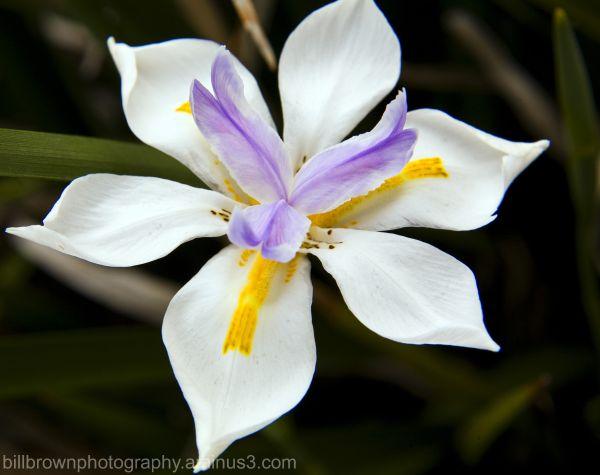 Butterfly Iris I