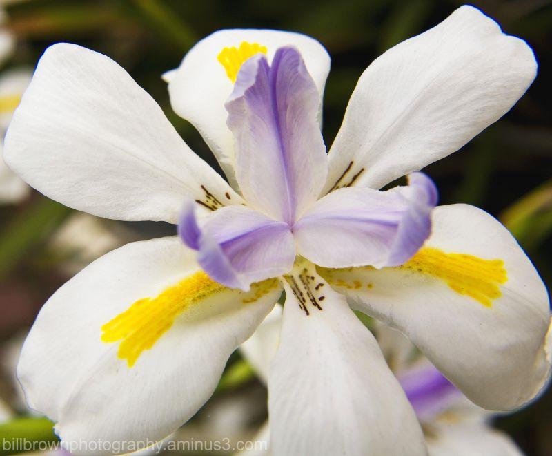 Butterfly Iris II