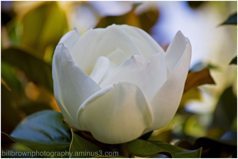 Magnolia Blossom II