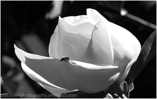 Magnolia and the Bee