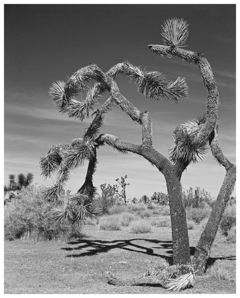 Joshua Tree No. 3