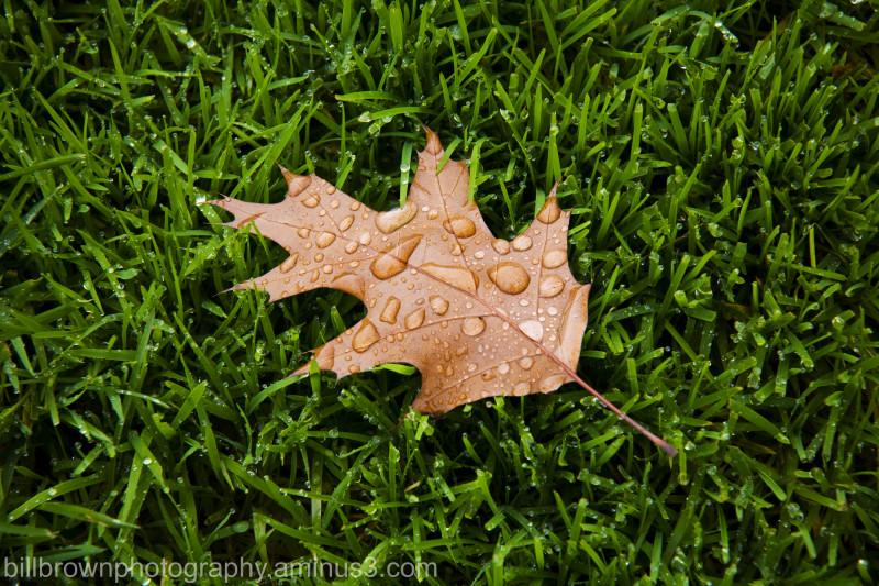 Solo Oak Leaf