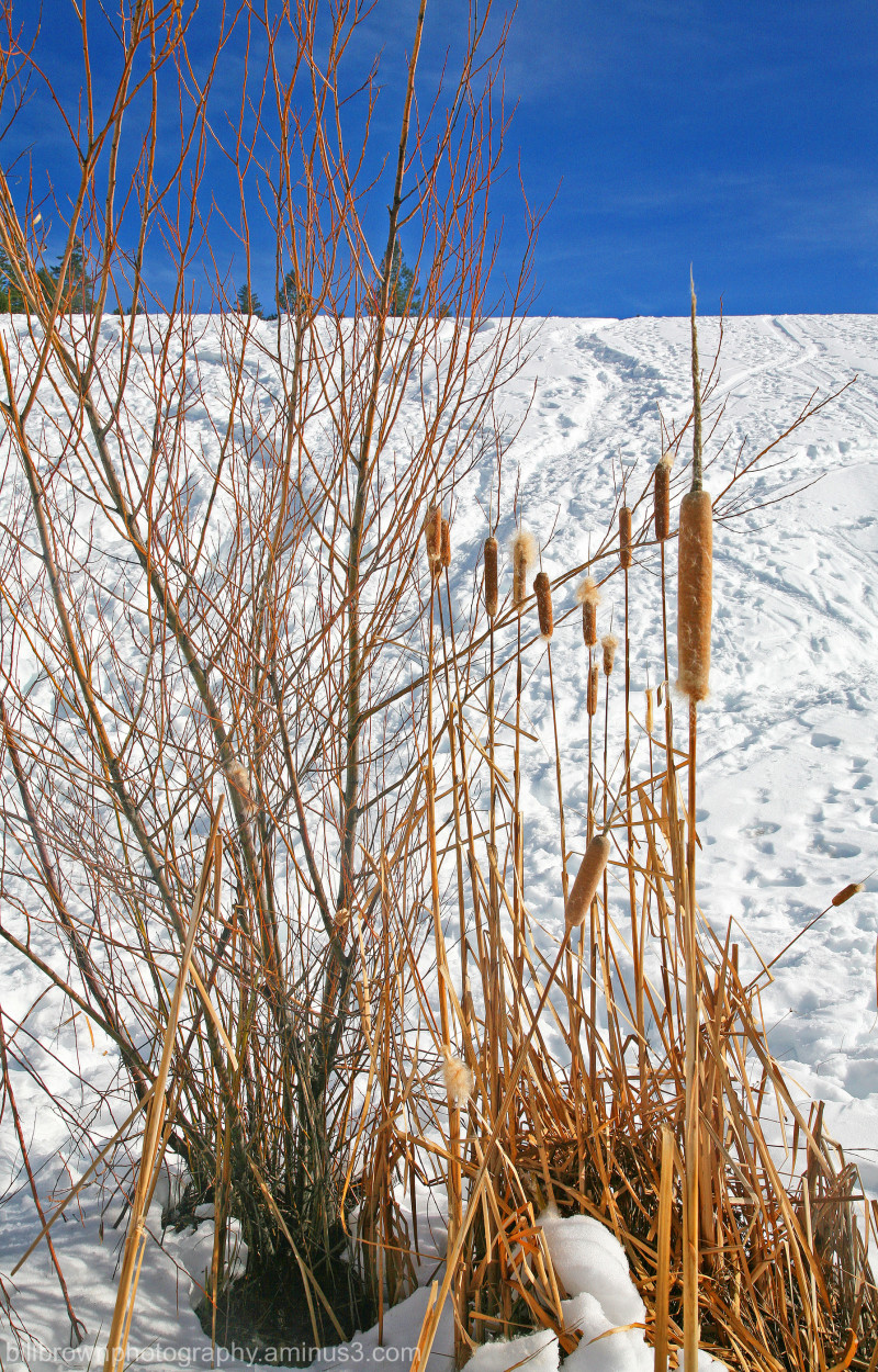 Cattail and Snow