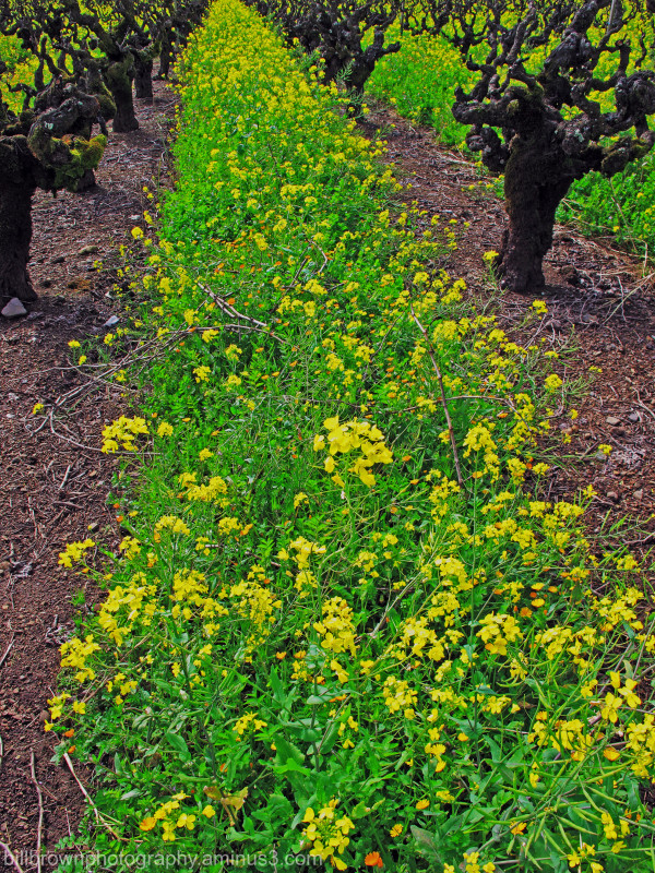 Wild Mustard II
