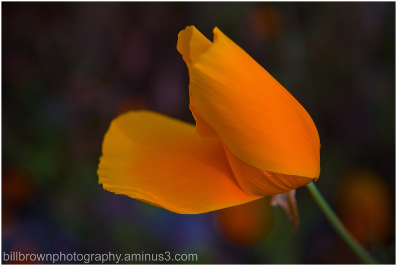 Isolated Poppy