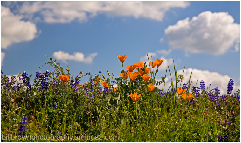 Poppies and Lupine II