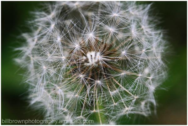 Dandelion  No. 2