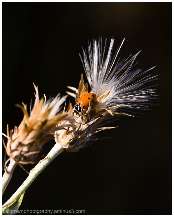 Ladybug, Ladybug ...