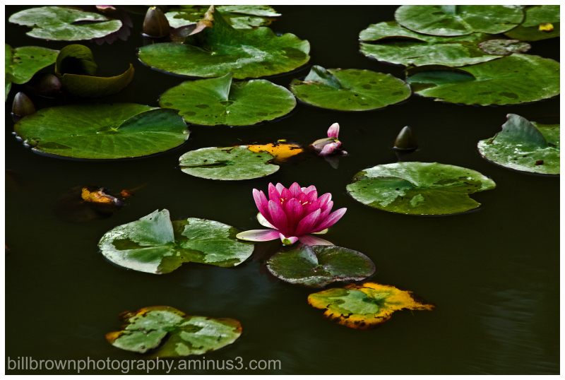 Japanese Garden Lily Pad