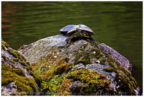 Turtles on the Rocks