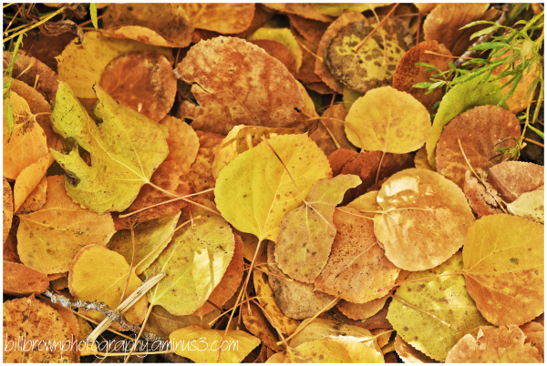 Aspen Leaves