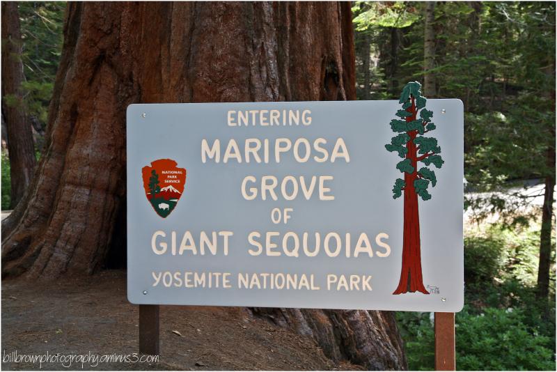 Giant Sequoias - 1 of 8