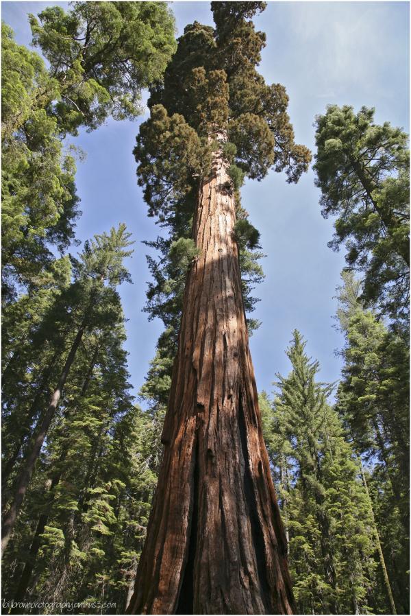 Giant Sequoias - 3 of 8