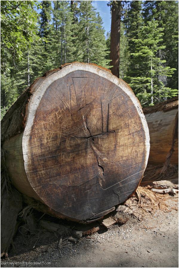 Giant Sequoias   5 of 8