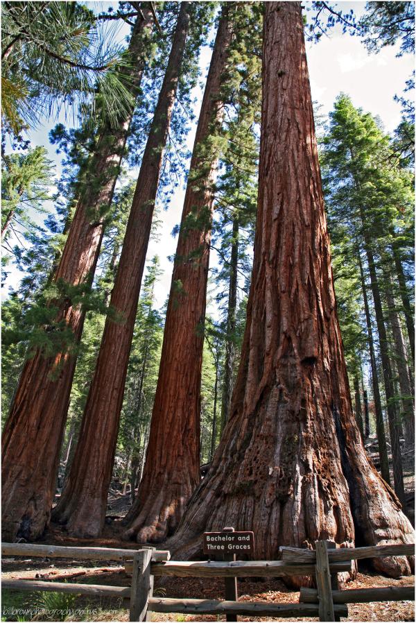Giant Sequoias   6 of 8