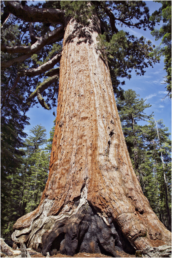 Giant Sequoias  8 of 8