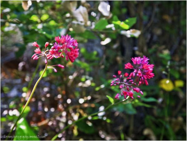 Cataract Trail Wildflowers