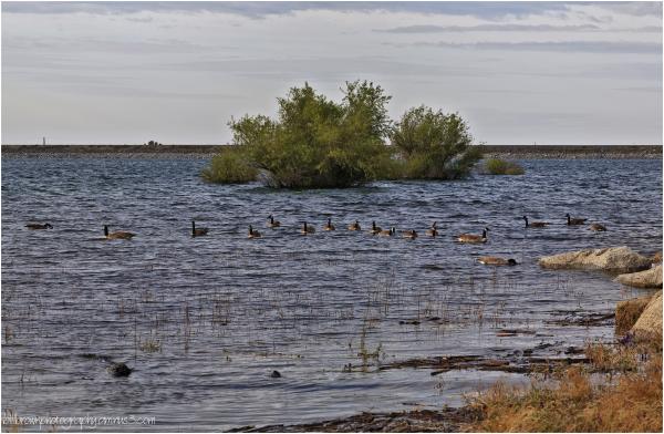 Geese on the Lake II