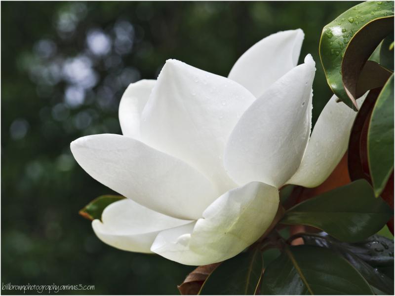 Magnolia Blossom 3 of 3