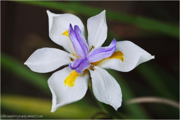 African Iris