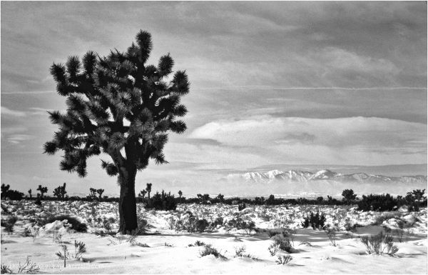 Joshua Tree   Winter Storm