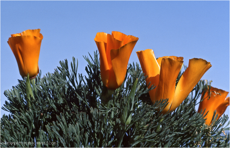 California Poppies 1983