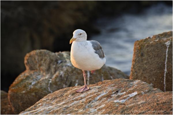 Isolated Gull