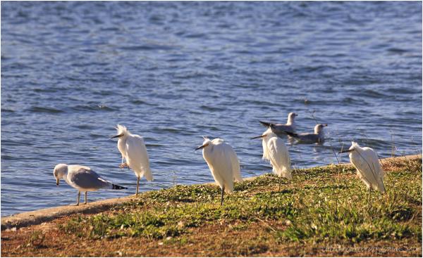 Great Egrets - Karate Kid Pose